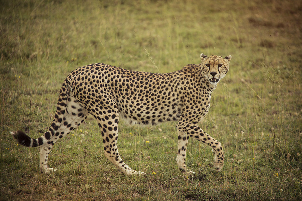 It's not one of the Big 5, but spotting a cheetah in the wild is a highlight of taking a trip to the Serengeti.
