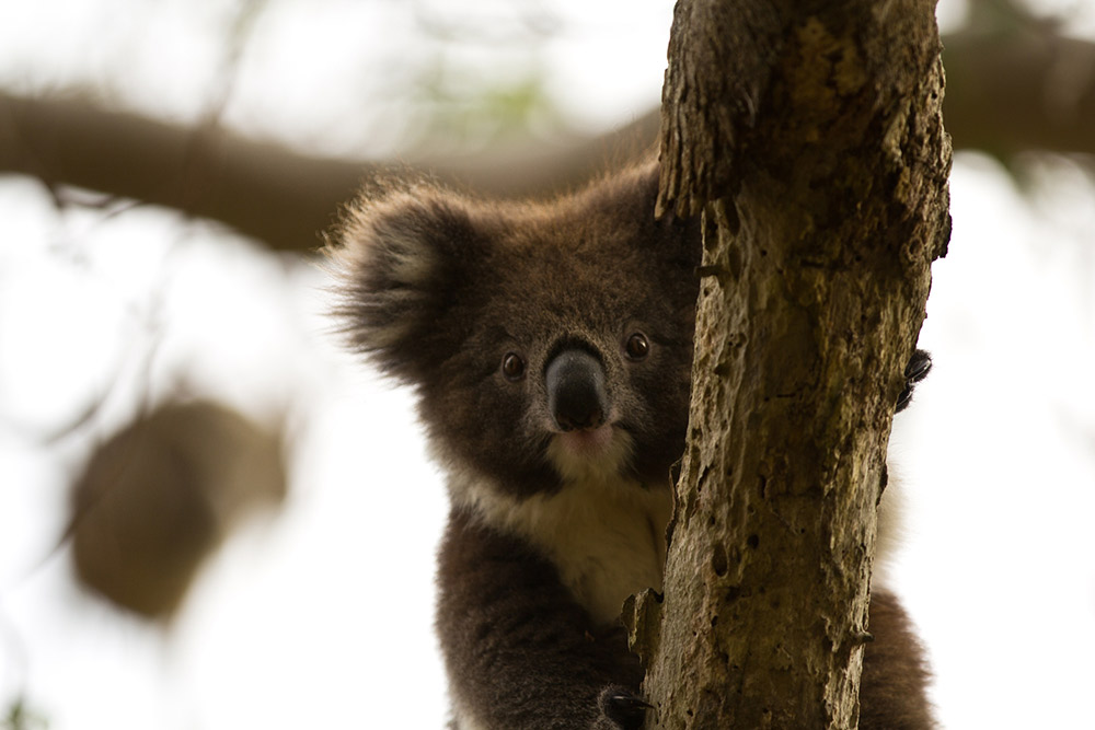 Koalas are often mistaken to be bears – particularly because of their rounded ears.