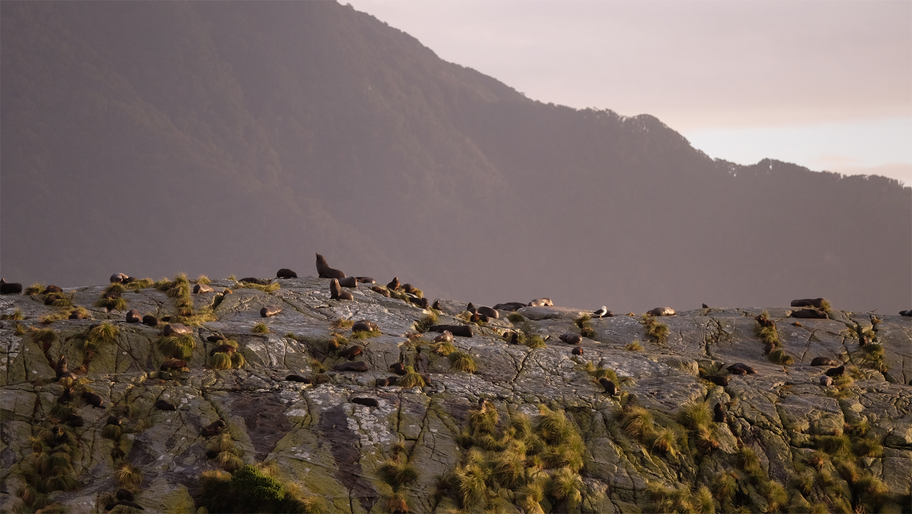 Fur seals basking in the setting sun at the entrance to the Tasman Sea.