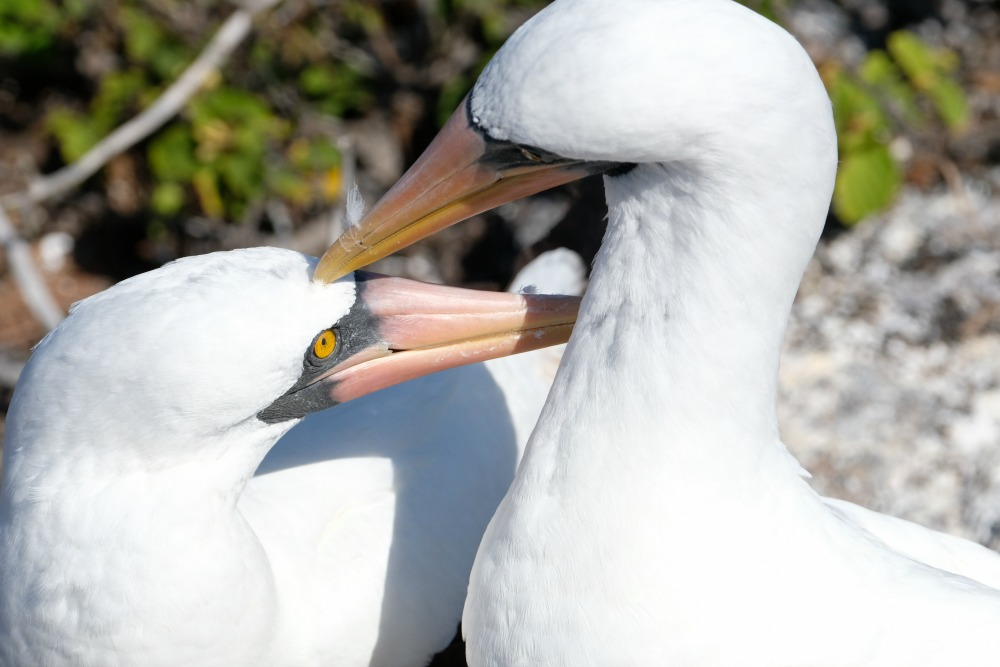 A pair of Nazca Boobies cleaning each other on Genovesa Island.