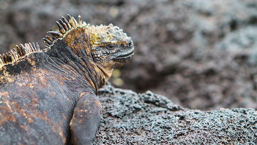 It's the salt they expel from their glands that gives the marine iguana's face a lighter colour.