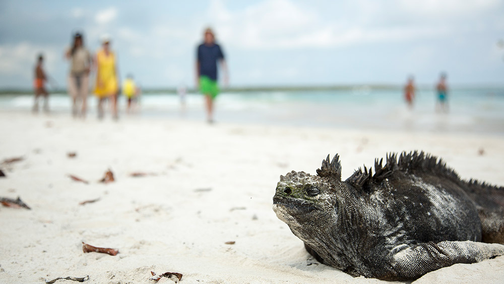 Cold-blooded marine iguanas need to warm up in the sun.