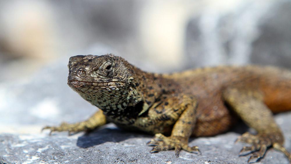 Locking eyes with this marine iguana on Punta Suarez.