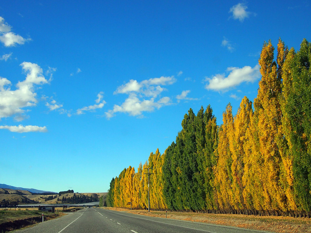 Trees line the road on the way to Wanaka.