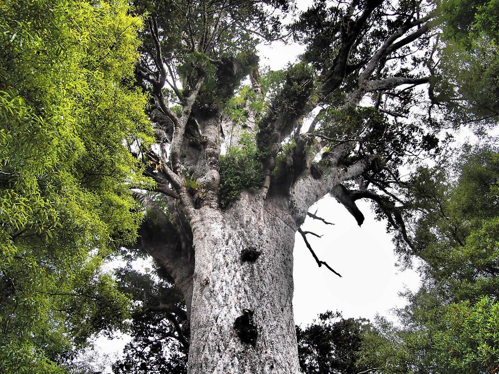 Tāne Mahuta tree in the Waipoua Forest.