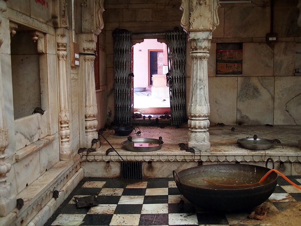 Rats running the show at Karni Mata temple in Rajasthan.