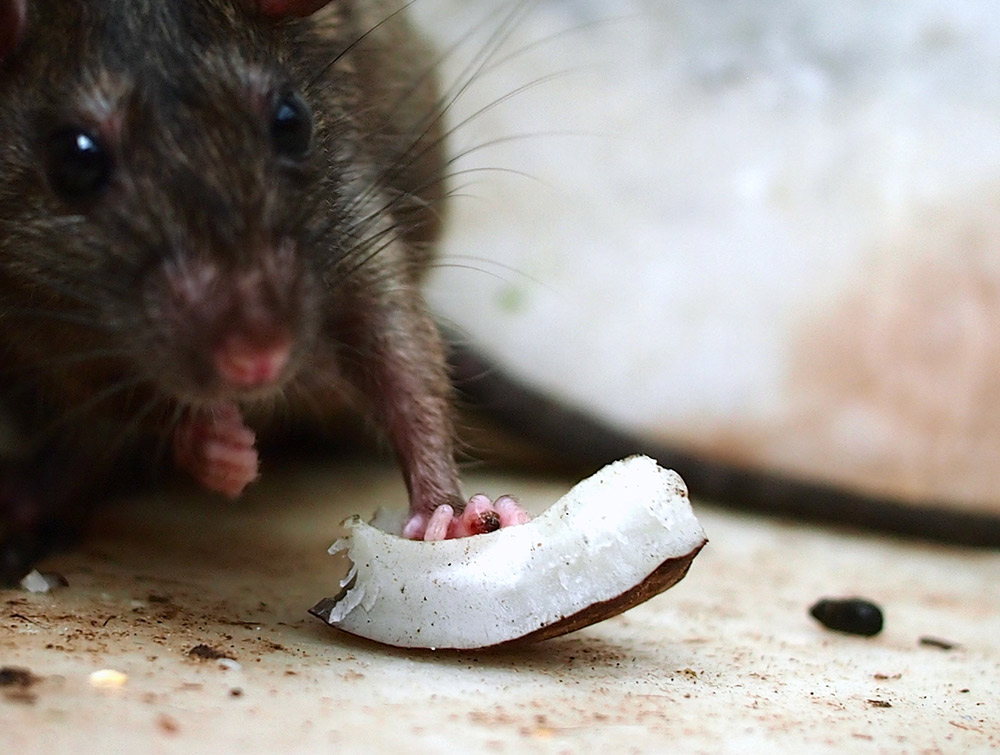 Rat holding a coconut shell.