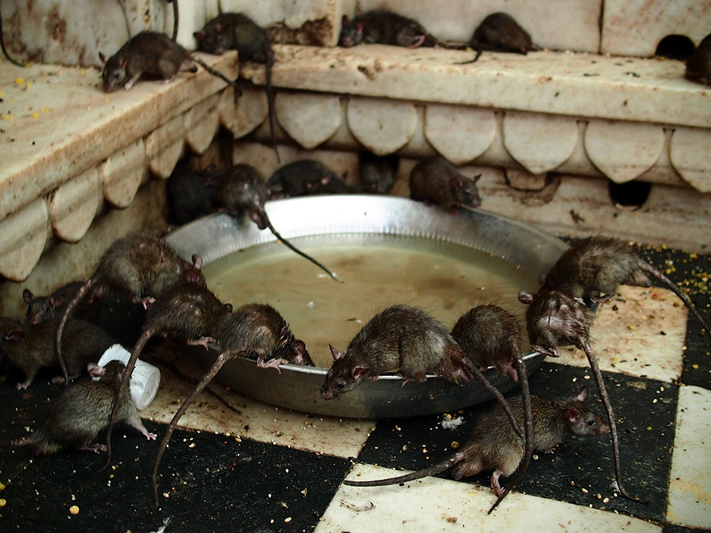 Mealtime for the rats.