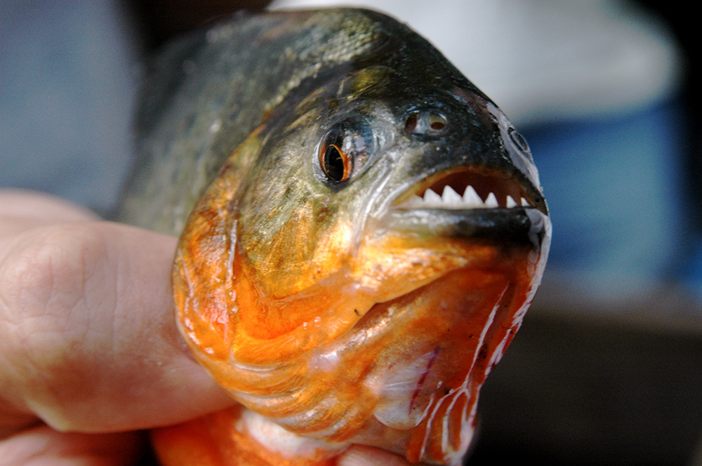 The piranha's reputation is worse than its bite. Photo courtesy of Mor.