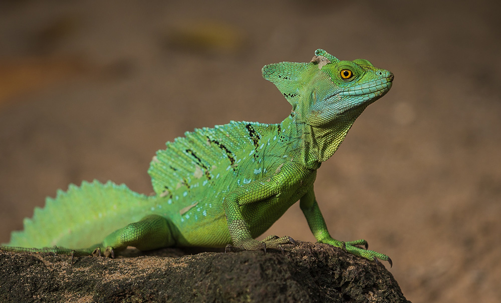 The so-called Jesus lizard is known for its ability to run across water. Photo courtesy of Zweer D.