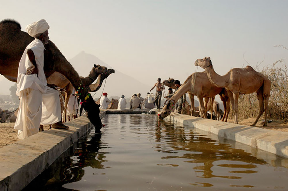 At the heart of the Pushkar Camel Fair are — you guessed it — hundreds of camels. Photo courtesy of Koshy Koshy.