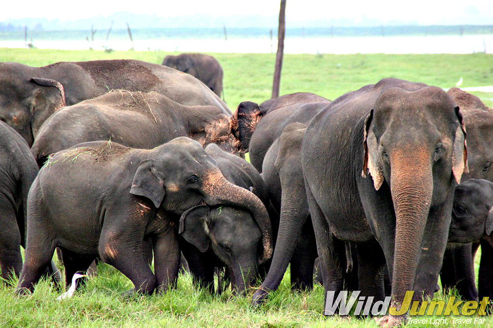 Seeing wild elephants in Asia is rare these days — but it's still possible in Sri Lanka.