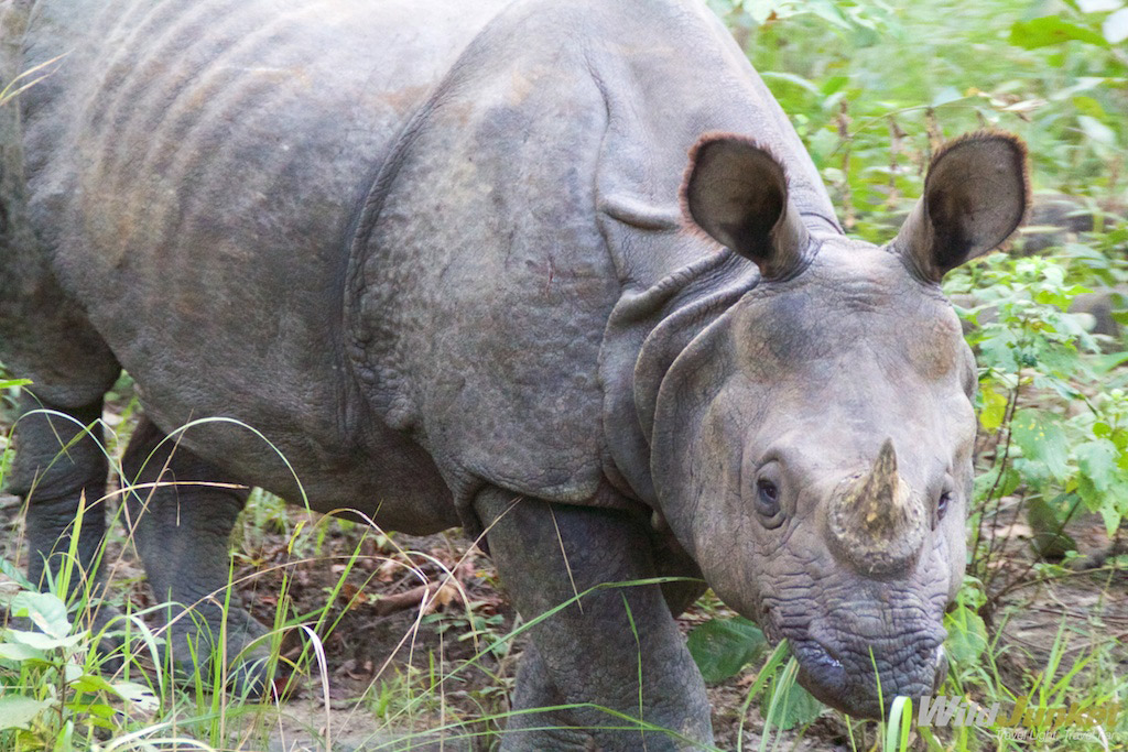 Chitwan is one of the best places to see the endangered Indian rhino.