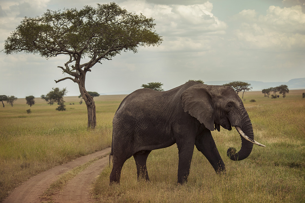 The Serengeti is a great place for elephant-spotting.