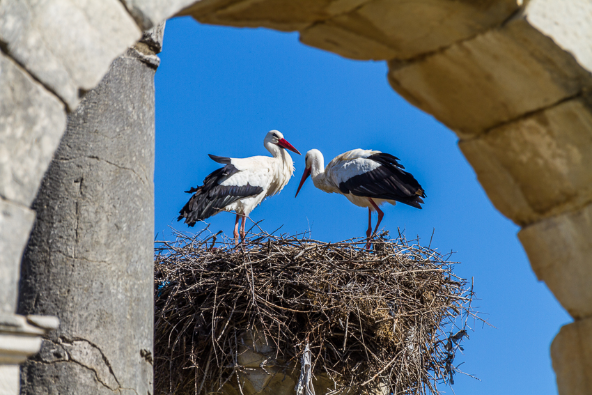 Pelicans have made many homes safely atop the pillars of the Capitoline Temple next to the grand Basilica.