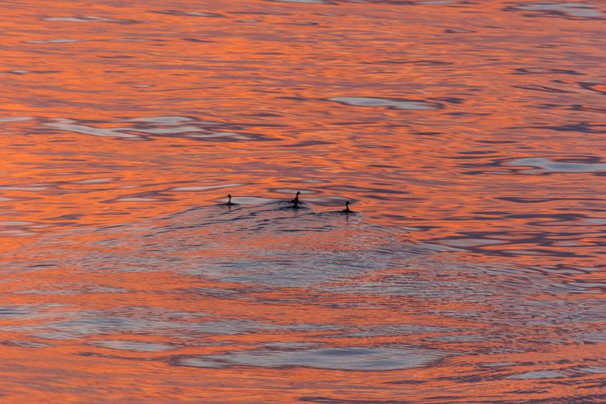 Shore birds swim through the orange glow of morning on the Sea of Cortes.