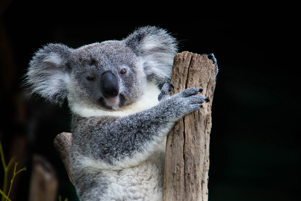 We dare you to see a koala and not smile. Photo courtesy Jo O.