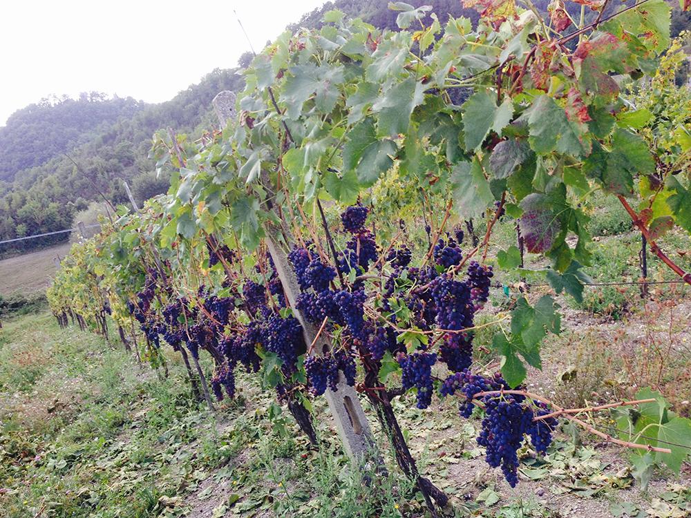 Vineyards in Umbria.