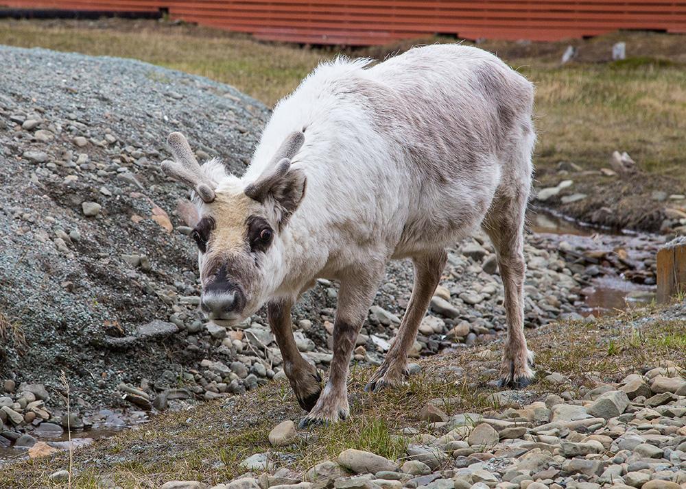 A reindeer.
