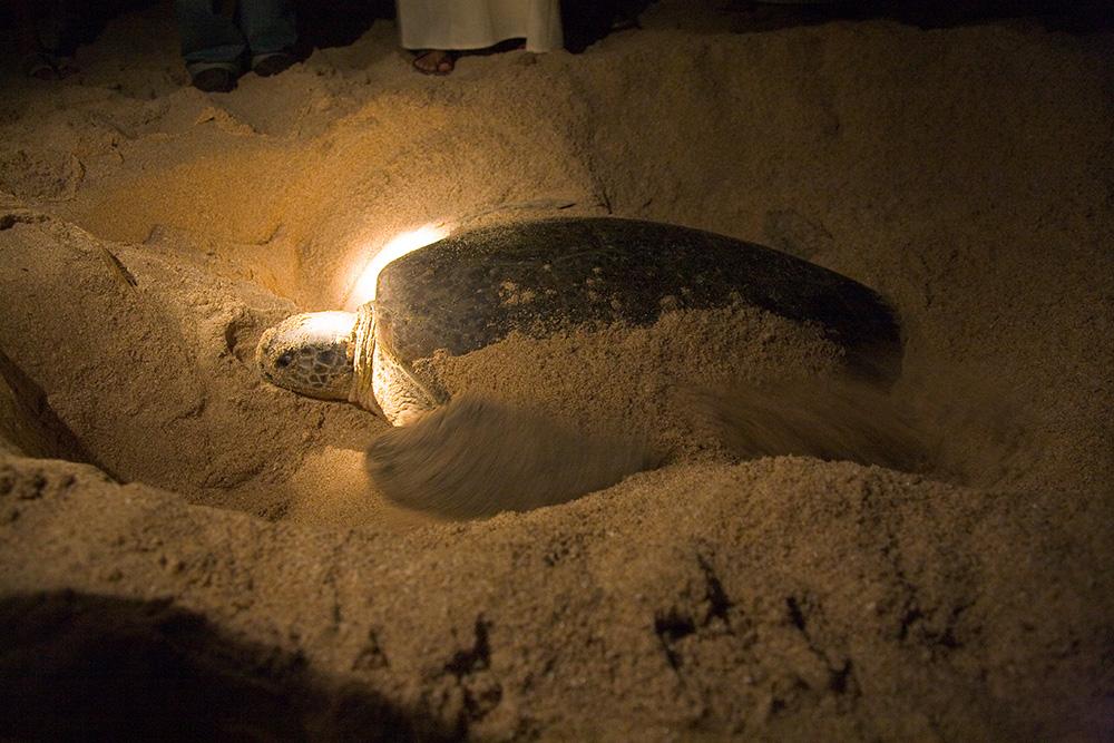 A turtle at Ras al Jinz.