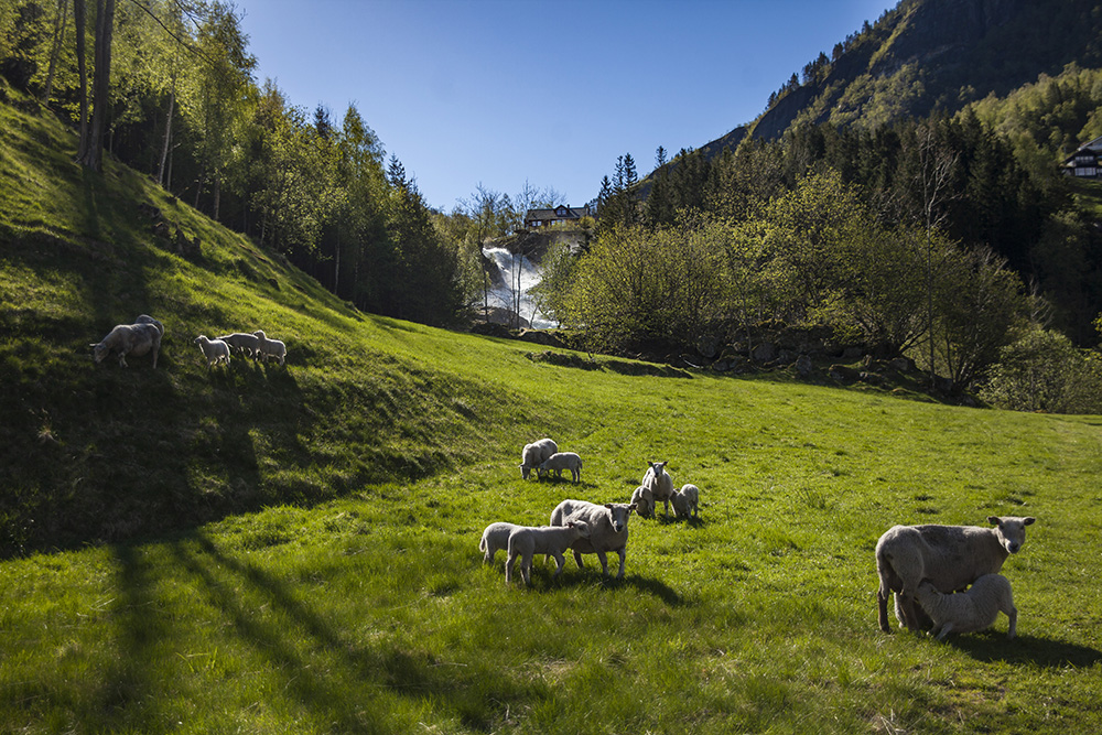 Norway's stunning greenery — with a few fuzzy additions.