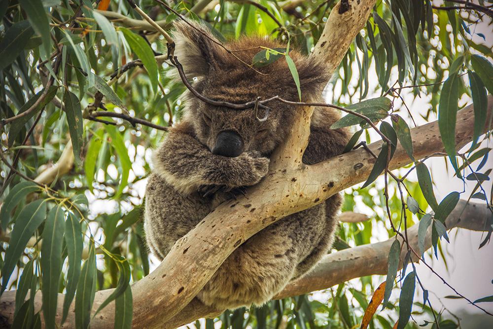 Wild koalas along the Great Ocean Road.