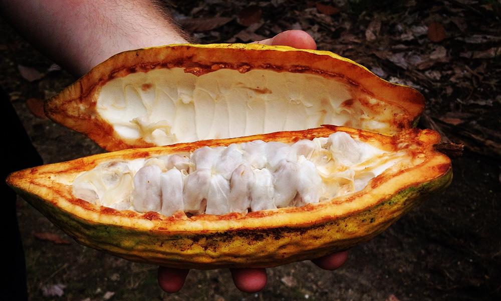 A freshly opened cacao pod in Ecuador.