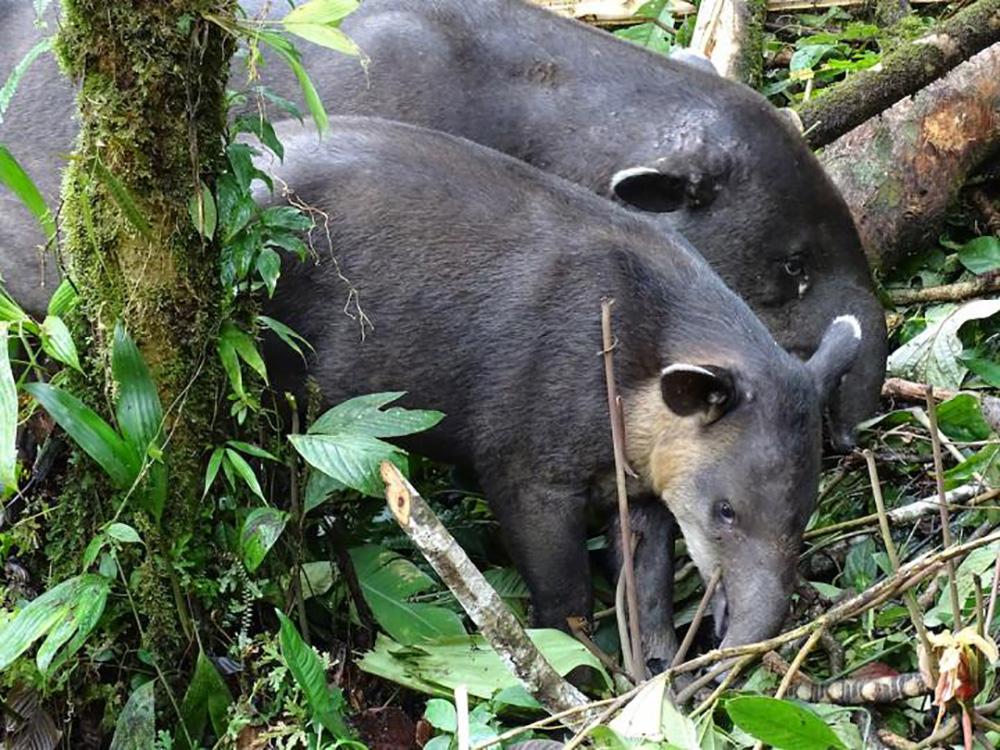 The elusive tapir.