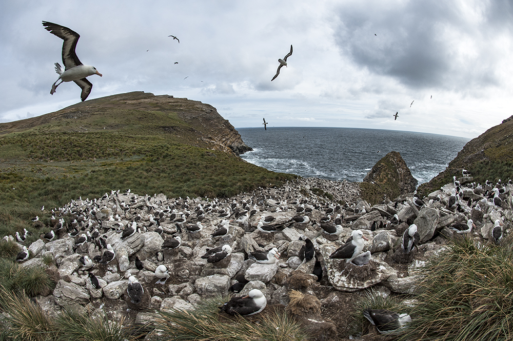 Albatross live en mass across the Falklands.