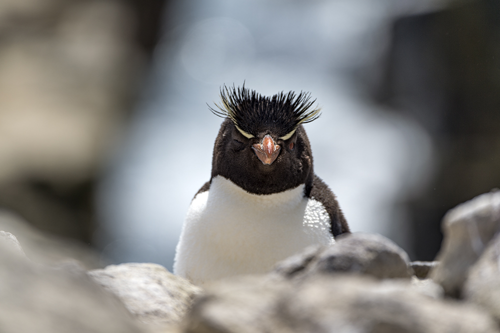 Rockhopper penguins are more plentiful than people on the Falklands.