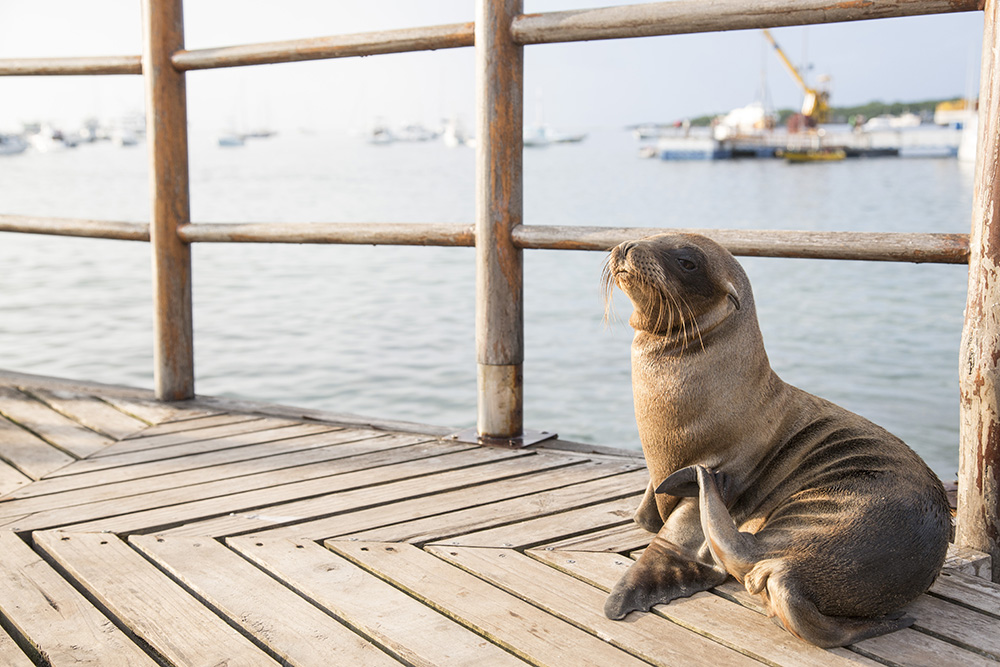 Sea lions cohabitate with humans on the Galápagos Islands.
