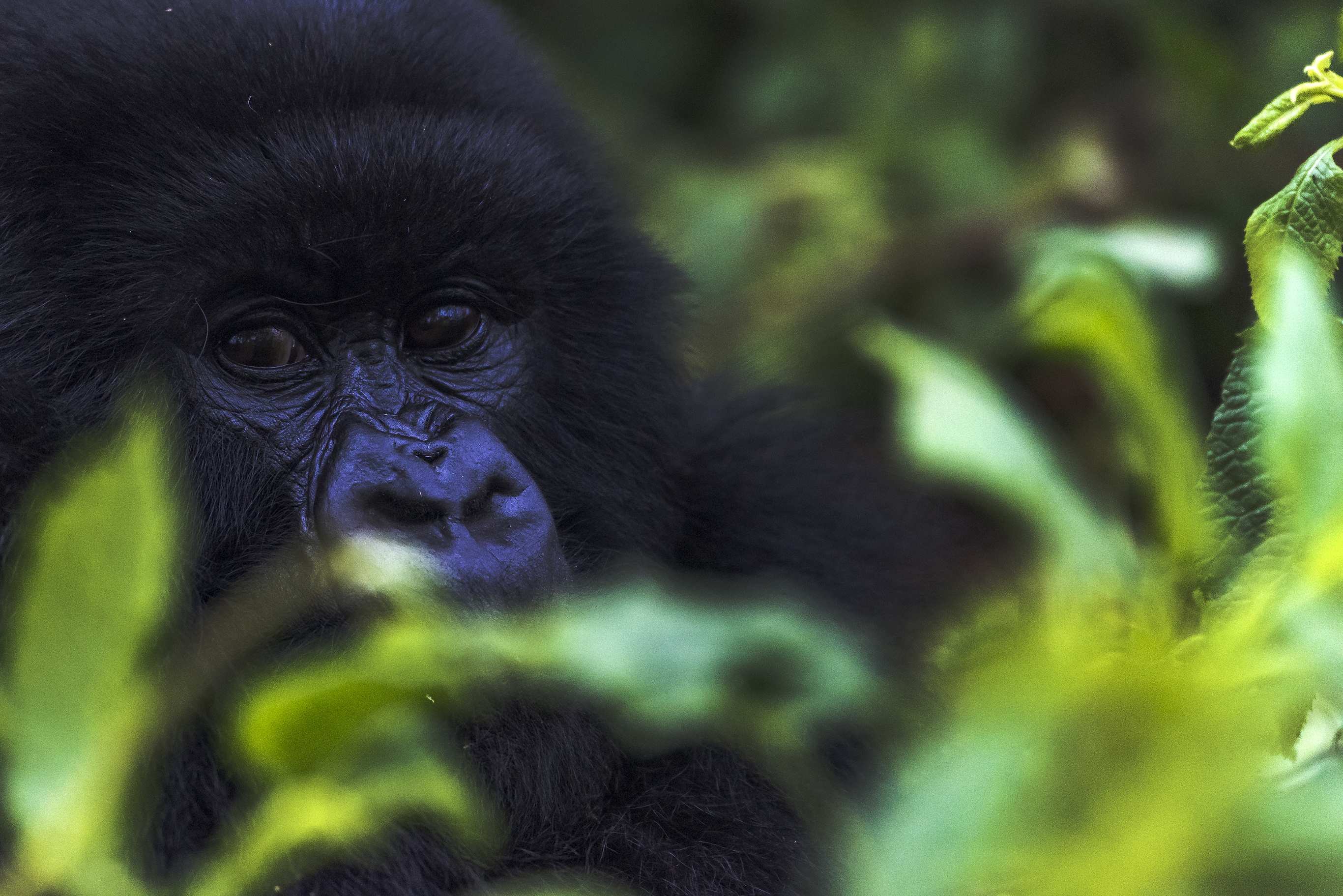 Africa Map Somalia%0A    years since Gorillas in the Mist  A look at Dian Fossey u    s legacy