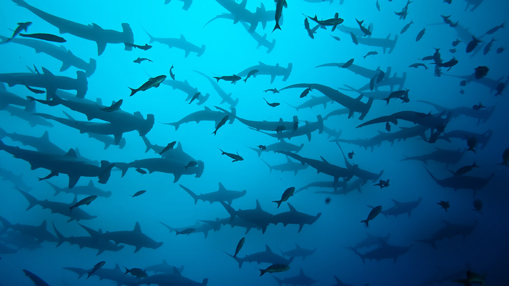 A sea of hammerhead sharks. Photo courtesy John V.
