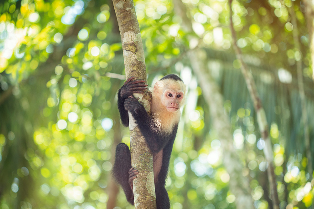 A capuchin monkey looking down from the trees.