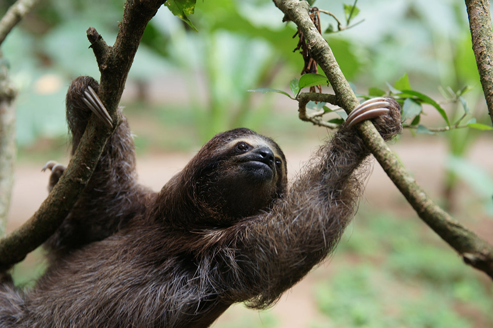 This sloth was spotted in Puerto Viejo, Costa Rica. Photo courtesy Bradford D.