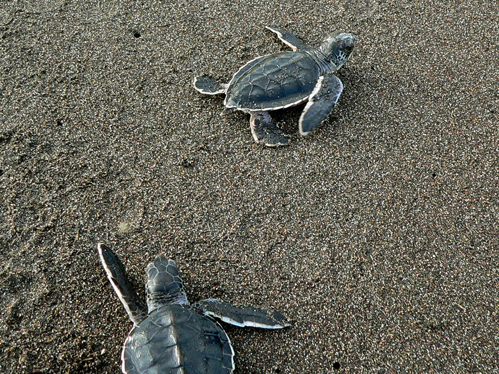 Turtle hatchlings fumbling around in the sand. Photo courtesy Wiki.