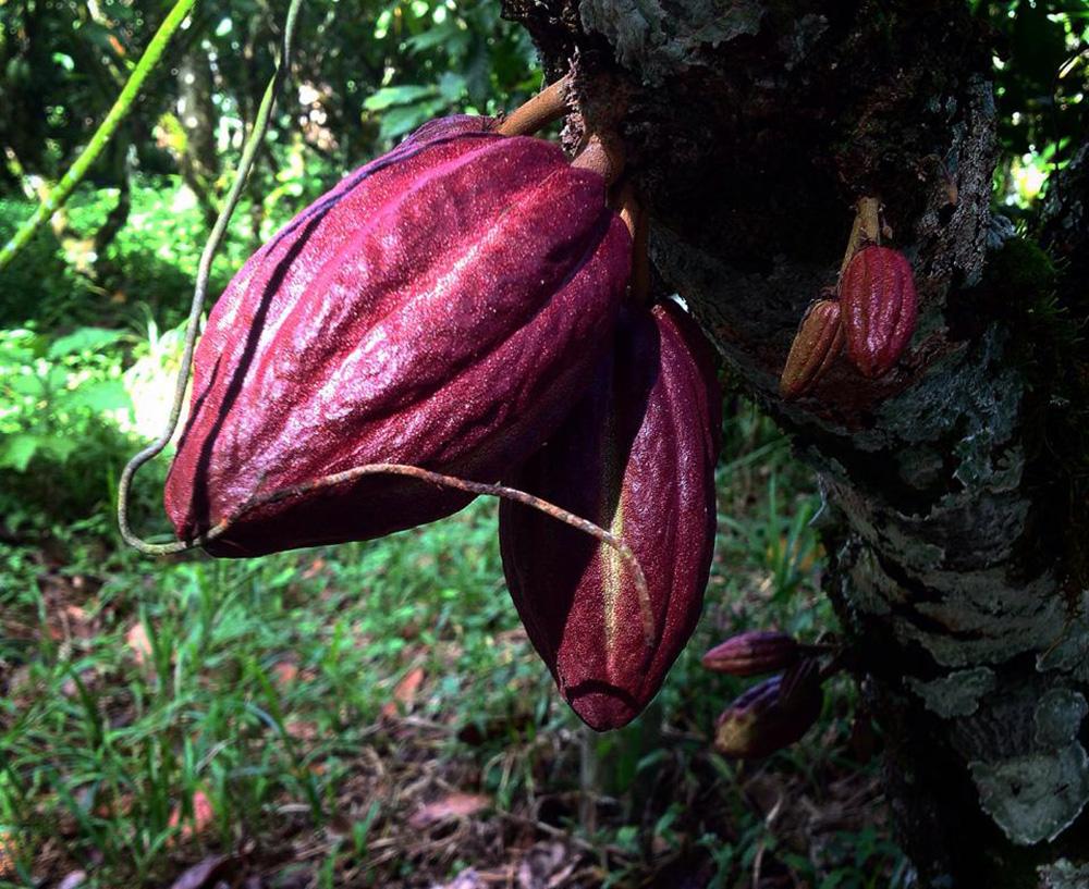 Cacao in Trinidad.
