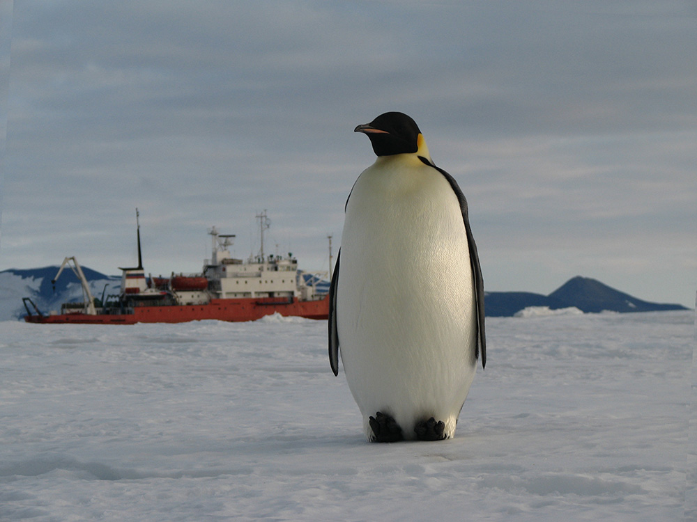 An Emperor penguin.