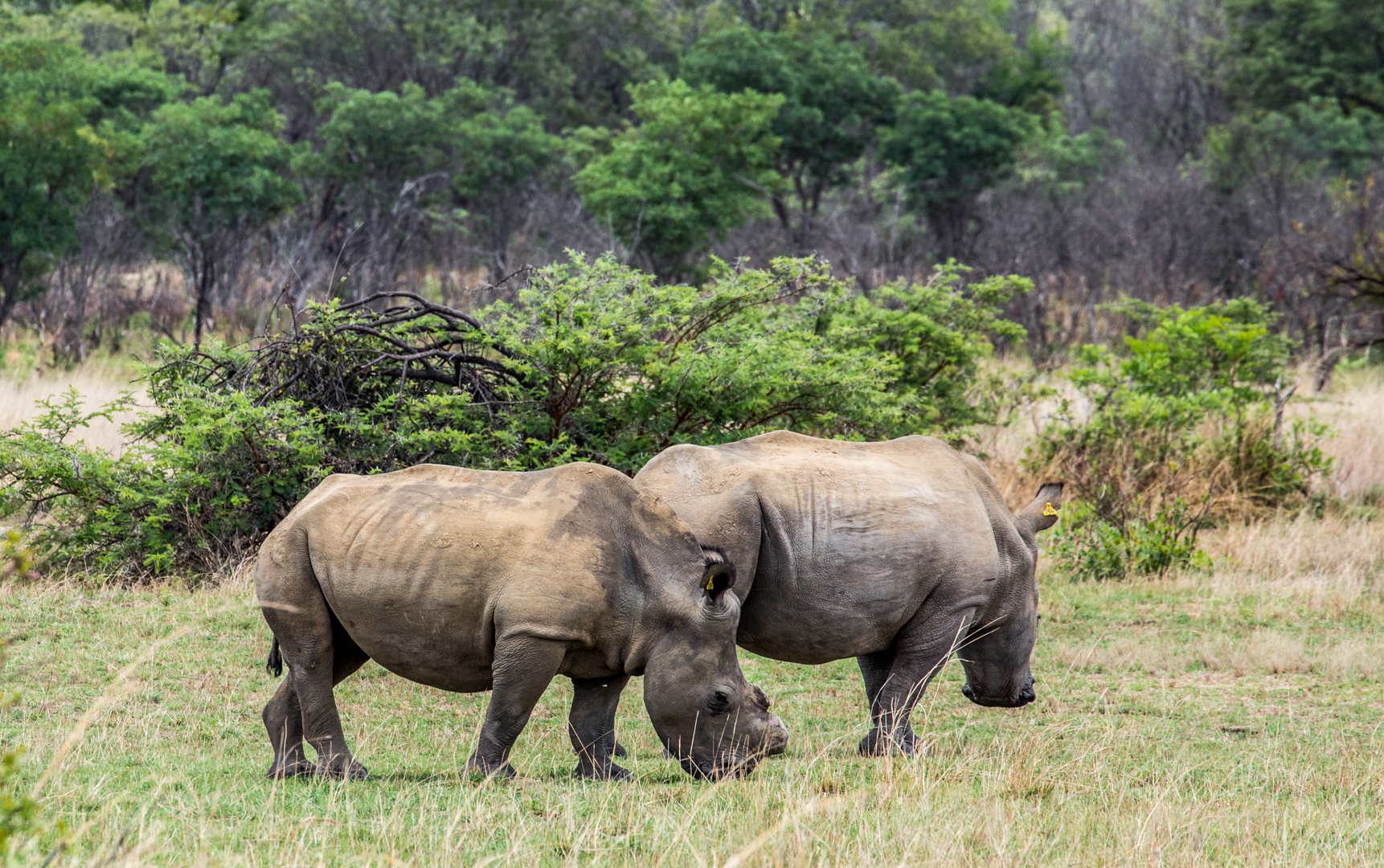 And, we found them! Two rhinos grazing in a field.