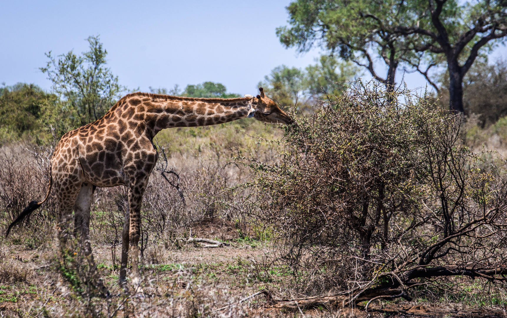 A giraffe having his snack in Kruger National Park, South Africa.